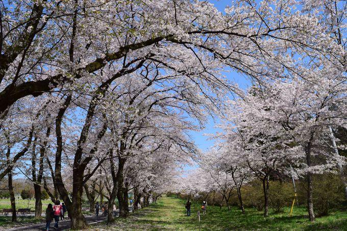 桜のトンネルが美しい、赤城南面千本桜