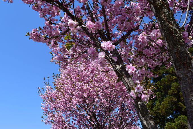 ソメイヨシノ以外にも、さまざまな桜が。世界の桜エリアもあり