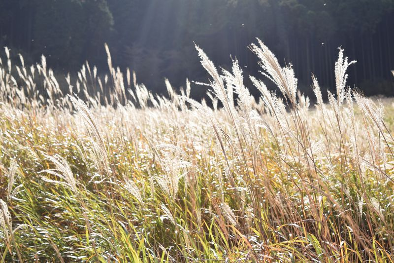 仙石原すすき草原&周辺ランチ!秋の箱根で絶対行きたい「黄金の海」