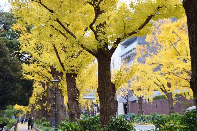 秋、美しい黄葉に染まる山下公園通り