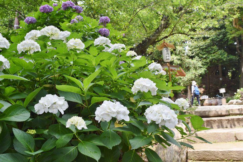 隠れた名所!鎌倉「源氏山公園」「葛原岡神社」へあじさいハイキング
