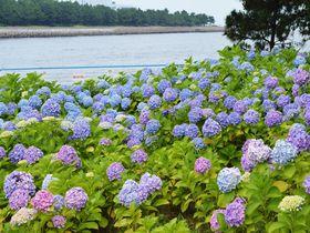 横浜・八景島シーパラダイス「あじさい祭」海とあじさいのコラボ!