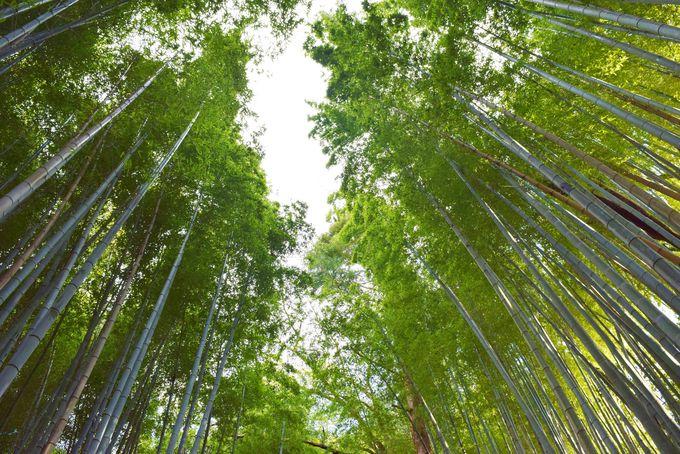 都心から1時間の穴場!サムライの古径「ひよどり坂」の竹林