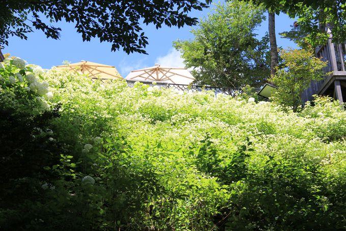「あじさい庭園」と「あじさいの滝」に咲くあじさい