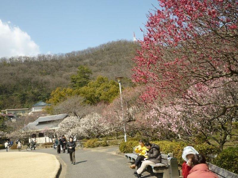 50種類・約1300本の梅が咲く岐阜市・梅林公園