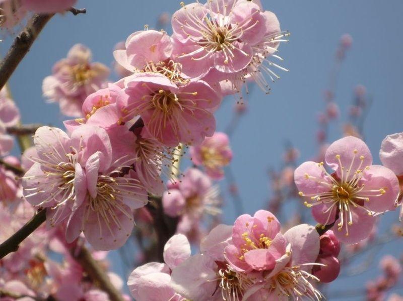 八重咲きは豪華!紅梅は約600本