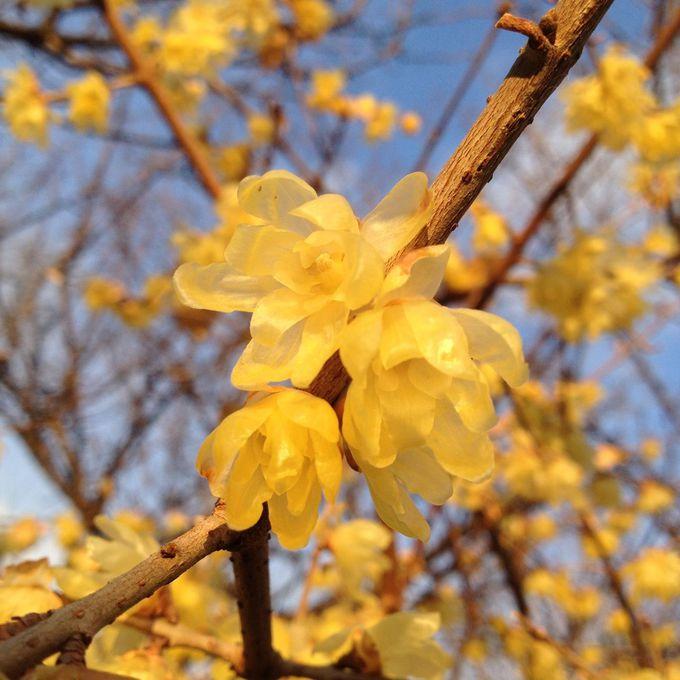 寒くても真っ先に咲く、蝋梅(ろうばい)