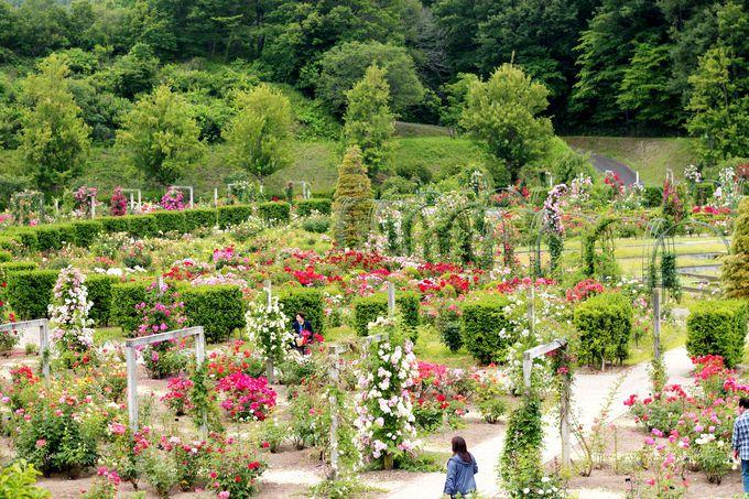 どこから見ても美しい!バラのテーマガーデン。