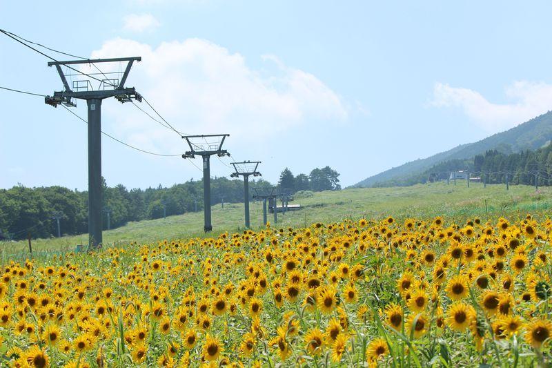 ゲレンデが一面黄色に!岐阜県高山市「アルコピアひまわり園」