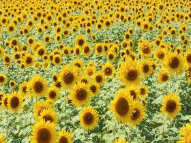 毎年人気!岐阜県大垣市の夏の風物詩「ひまわり畑」