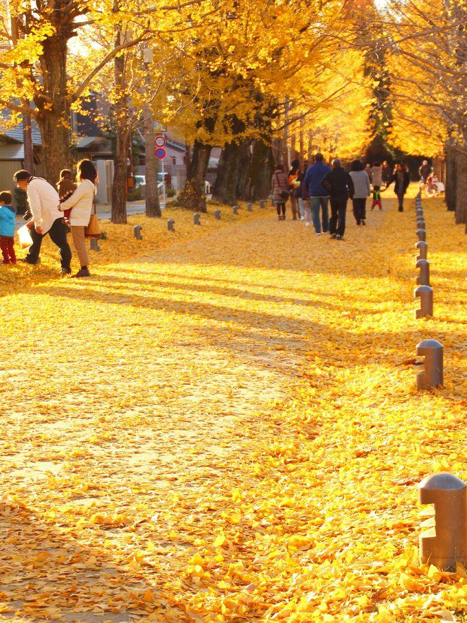 イチョウが散ると、黄色の絨毯に!