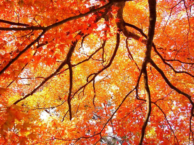 秋色に染まる、紅葉のトンネル
