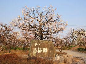 154種類の梅が咲き誇る!岐阜県「安八百梅園」へ行こう!