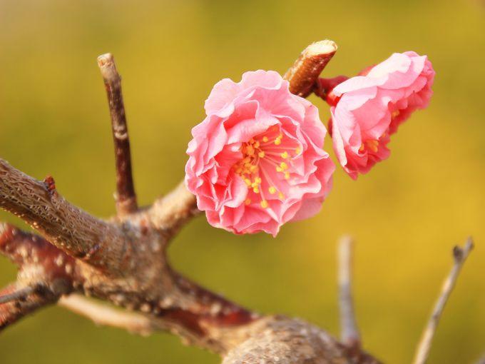 梅まつりでは、バザーや撮影会が開催!