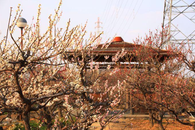 岐阜県内で種類が一番多い!154種類の梅が楽しめる!