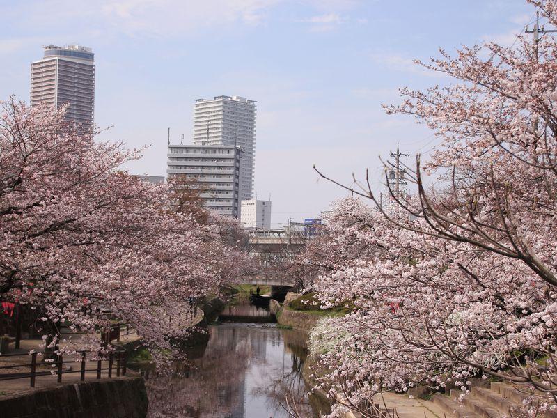JR岐阜駅から歩いてすぐ!桜の穴場スポット「清水川の桜」