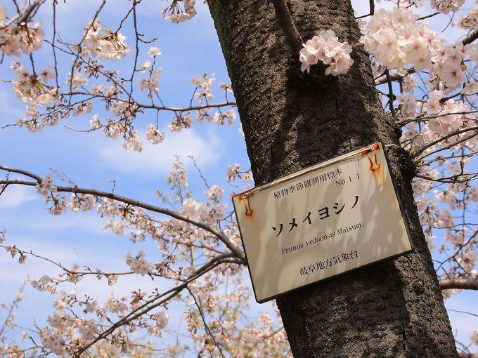 岐阜県の開花宣言の基準となる標本木がある!