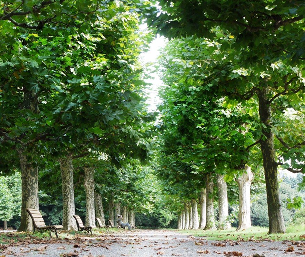 フランス式整形庭園のプラタナス並木