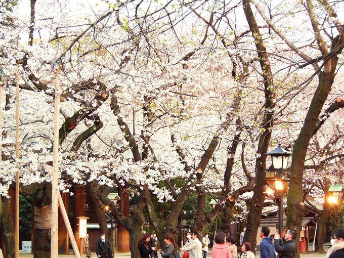 靖国神社の桜を内面的観賞方法で楽しむ!