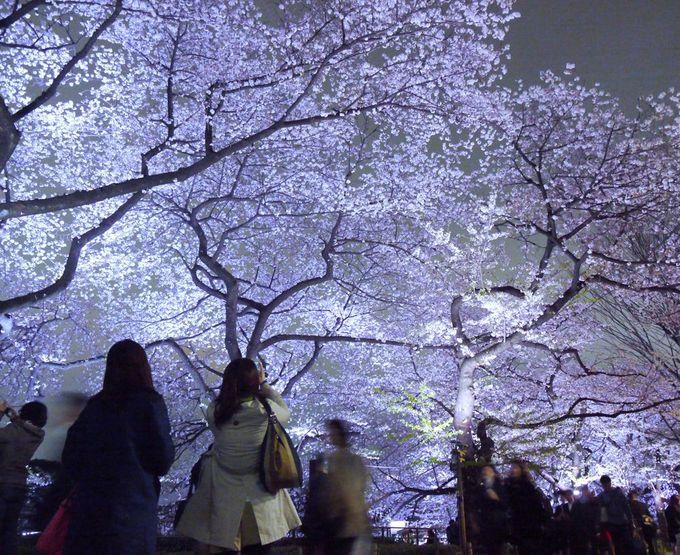 諸行無常の理をキラリと見つける!千鳥ケ淵緑道の桜ライトアップ