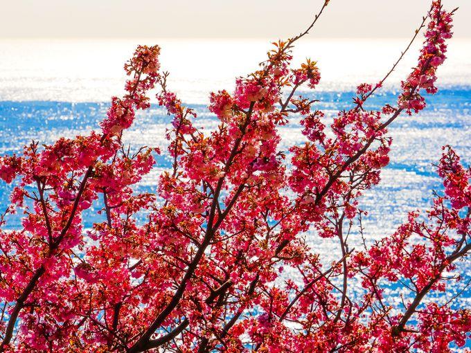河津桜と駿河湾の情景が美しい薩た峠