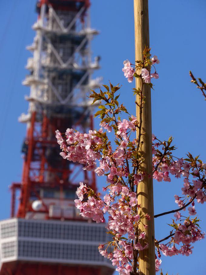 3.東京タワー×河津桜×菜の花のコラボ