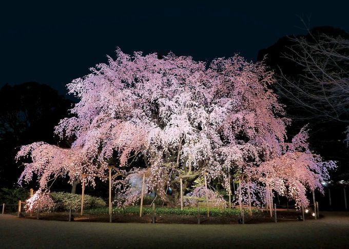 1、六義園の枝垂れ桜と春のいちごフェア