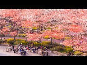 華麗な桜スポットと「東京2017春イベント」5選