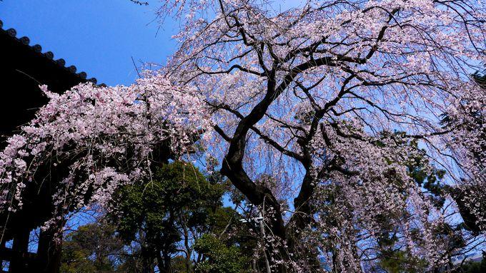 2、増上寺の勝運桜と東京タワーの春マッピング