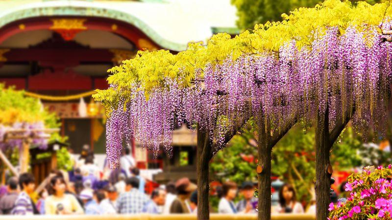 藤棚の佳景 亀戸天神社は天神様に縁の糸でつながれる学問神社