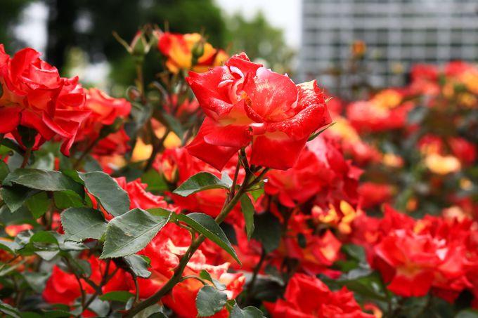 神代植物公園は東京最大規模のバラ園
