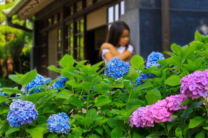 ホンアジサイと旧島田家住宅のマッチングが良い景観
