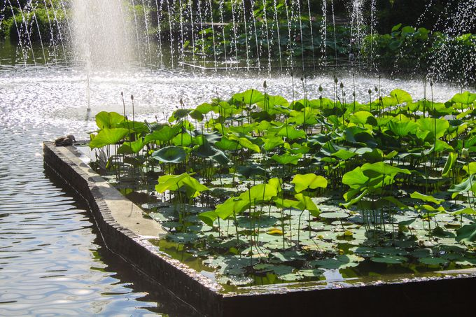 大賀ハスを観に郷土の森公園 修景池に行ってみよう