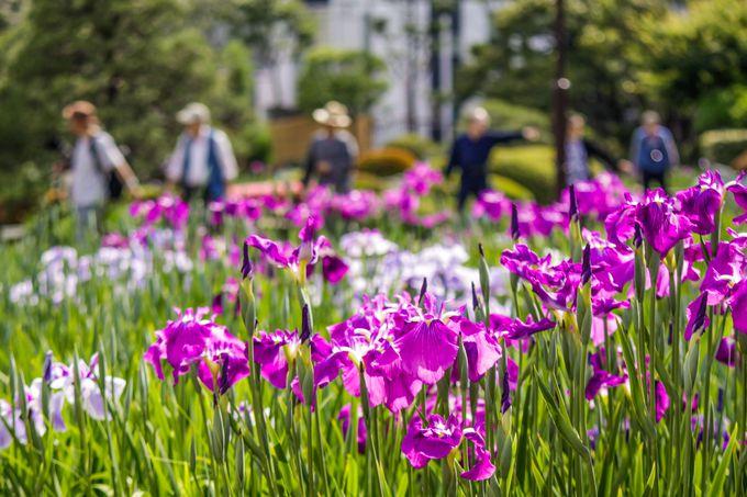 東京で一番の花菖蒲の名所・堀切菖蒲園