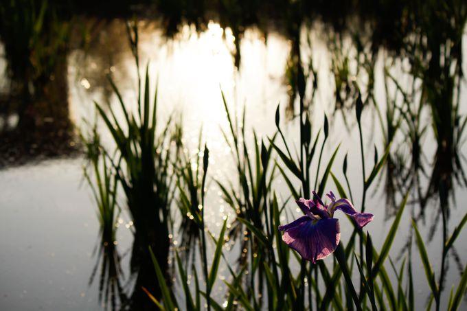 夕暮れの花菖蒲が美しい水元公園