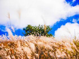 白樺リゾート「霧ヶ峰」のススキ草原と八島湿原を歩いてみよう!