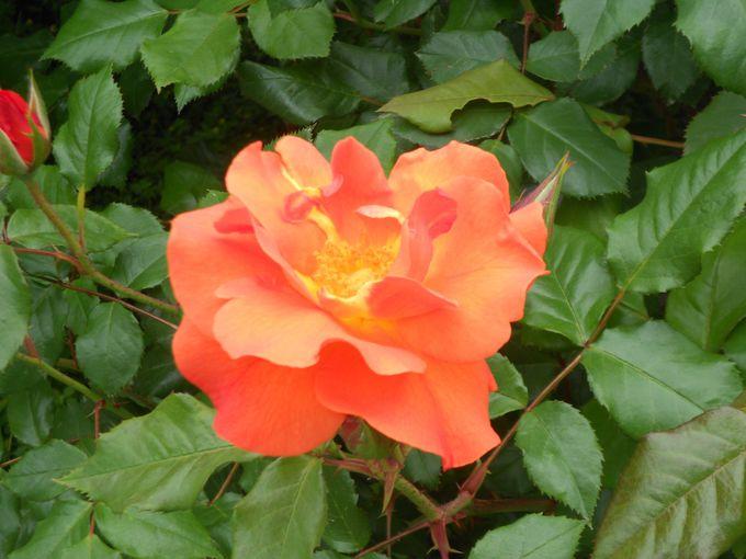 春と秋に180種4,000株のバラが美しく咲く「王侯貴族のバラ園」