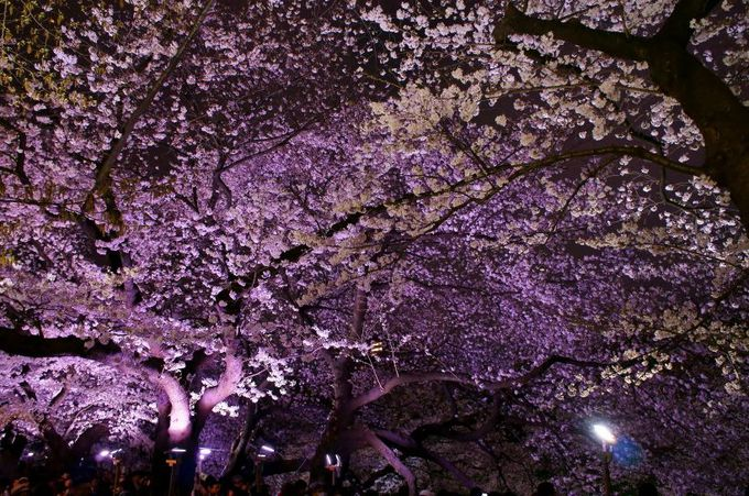 100万人が訪れる桜のトンネル「東京・千鳥ヶ淵」