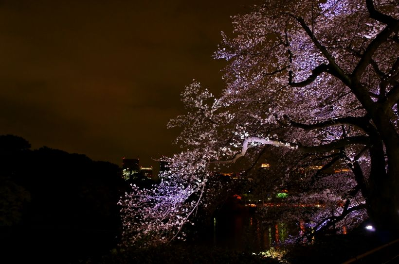 夜桜の妖艶な美しさ!