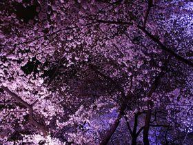 100万人が訪れる東京屈指の桜の名所!千鳥ヶ淵緑道の妖艶な夜桜!