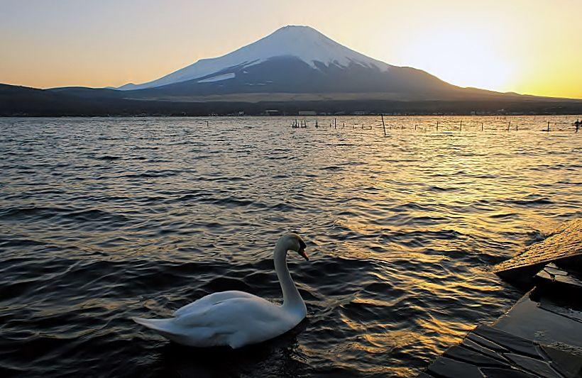 山中湖の名物!白鳥とのコラボ!