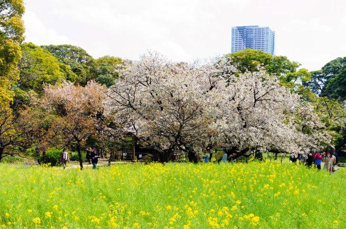 桜と菜の花のコラボレーションを楽しめる数少ないスポット!