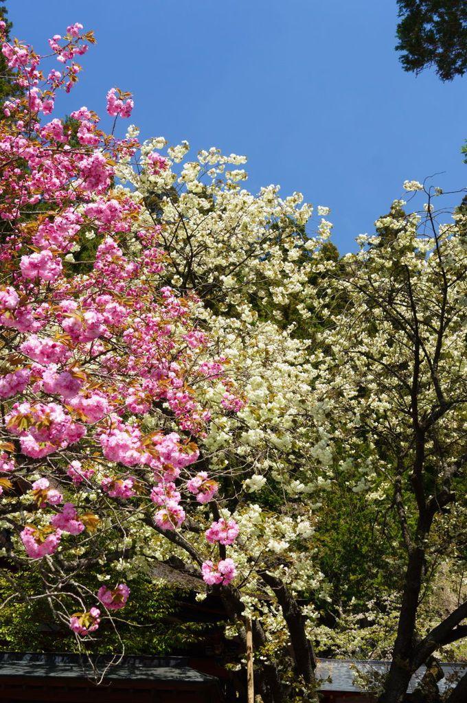 """日本三御獄の1つ""""花の御獄""""と称される桜の名所"""