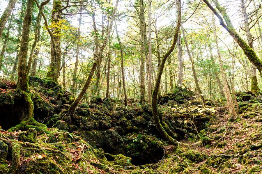 富士山北西麓の広大な原生林・青木ヶ原樹海
