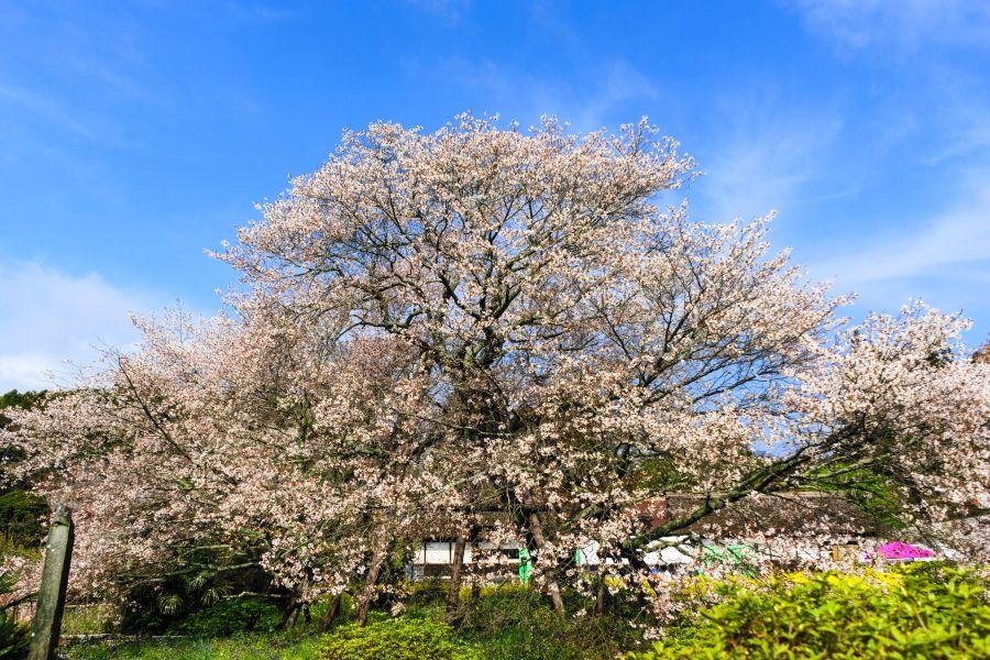 国内最古の山桜!富士宮市・日本五大桜の「狩宿の下馬桜(駒止の桜)」