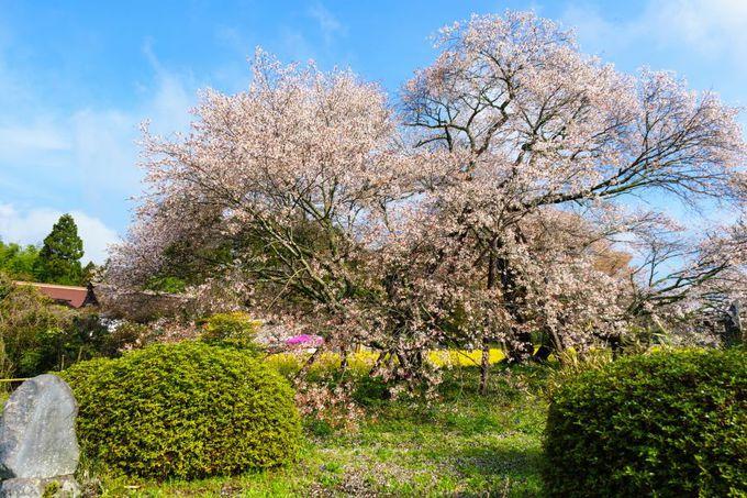 日本最古の山桜!日本五大桜の「狩宿の下馬桜(駒止の桜)」