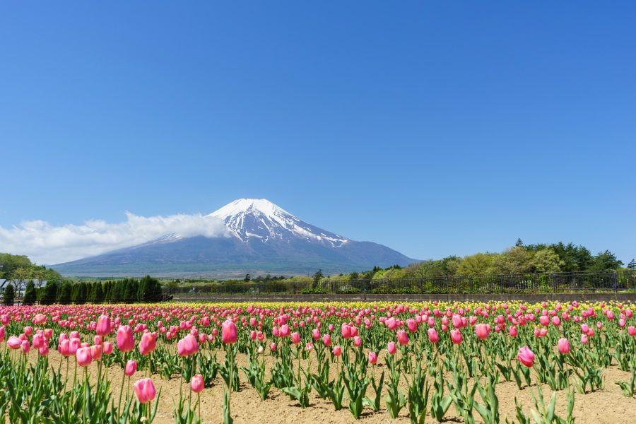 春の魅力〜15万本のチューリップと富士山の共演!