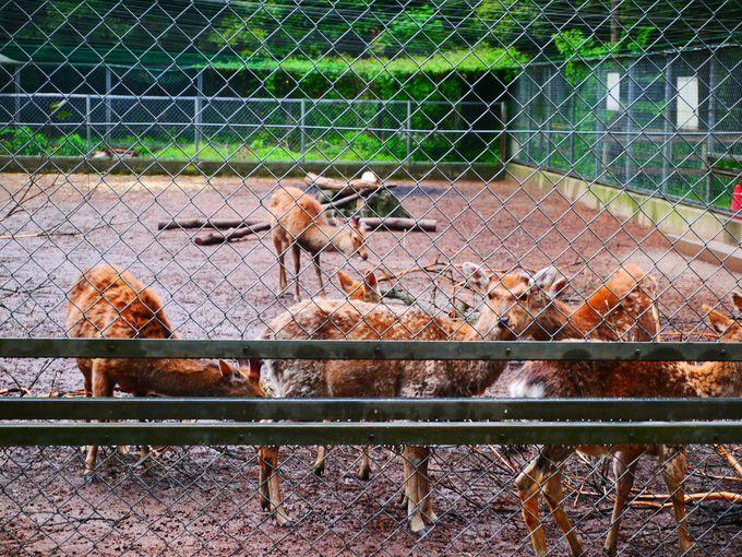 【4】鹿園(ろくおん)の鹿は、奈良・春日大社の鹿の子孫!