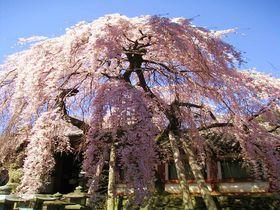 奈良で一番早く咲く「氷室神社」のしだれ桜で春を先取り!東大寺にも近くてアクセス抜群