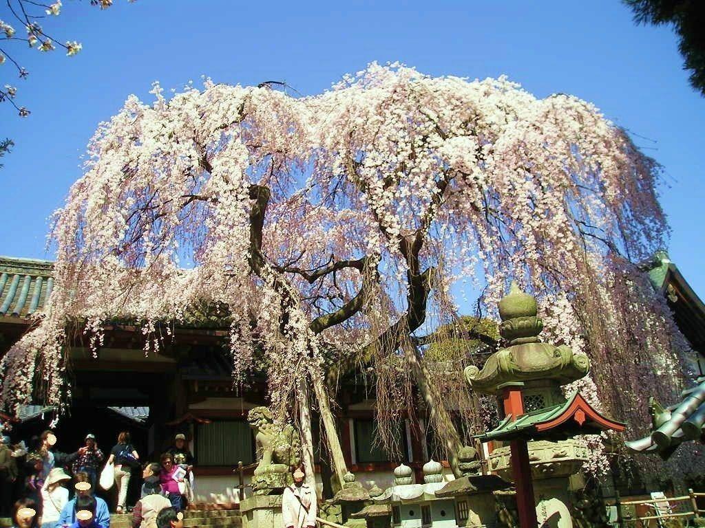 奈良で一番早く咲く大迫力のしだれ桜「奈良・氷室神社」